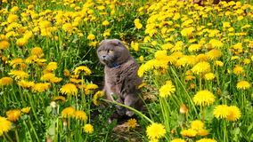 The cat sits among the dandelions Royalty Free Stock Image