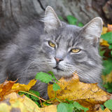 Cat sits in fallen leaves with a leaf Stock Images