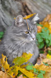 Cat sits in fallen leaves with a leaf Royalty Free Stock Photography