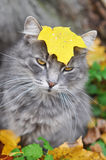 Cat sits in fallen leaves with a leaf Royalty Free Stock Image