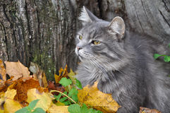 Cat sits in fallen leaves with a leaf Royalty Free Stock Photos