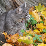 Cat sits in fallen leaves and yawns Stock Image