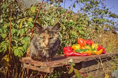 Cat sits in the garden near sweet pepper.  Cat laying in nature. Adult domestic cat and near sweet pepper.  Cat  in the summer garden. Cat sits in the garden stock images