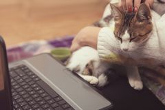 Cat sits on the girl`s lap. The cat sits on the girl`s lap and watches the movie on the laptop Stock Images