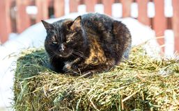 Cat sits on the hay in winter day Stock Photo