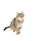 Cat sits and looking up Royalty Free Stock Photos