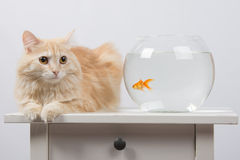 Cat sits near the aquarium with goldfish Royalty Free Stock Photo