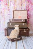Cat sits near vintage suitcases. Thai white with red marks cat with blue eyes sits inside vintage suitcases on a pink background toned picture close-up shallow Stock Photography