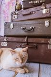 Cat sits near vintage suitcases. Thai white with red marks cat with blue eyes sits near vintage suitcases on a pink background toned picture close-up shallow Royalty Free Stock Photos