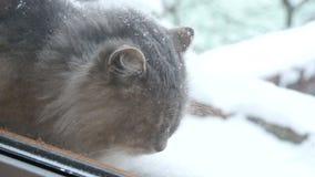 Cat Sits Outside y miradas hacia fuera la ventana almacen de video