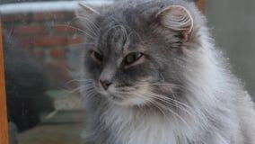 Cat Sits Outside y miradas hacia fuera la ventana almacen de metraje de vídeo