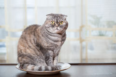 Cat sits in the white plate. Royalty Free Stock Image