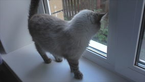 Cat sits on the windowsill and looks out the window stock footage
