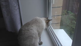Cat sits on the windowsill and looks out the window stock video