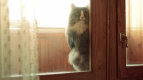 Cat sits on the windowsill and paw trying to open the door stock footage