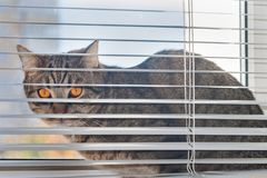 Cat sits on the windowsill between the window frame and the hanging horizontal blinds stock image