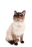 Cat sitting Royalty Free Stock Photos