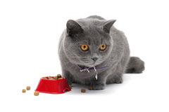 Cat sitting around a bowl of food on a white background close-up Stock Images