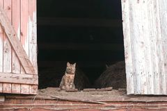 Cat sitting in the attic in the hayloft. royalty free stock images