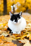 Cat sitting in autumn park with yellow leaves Royalty Free Stock Images
