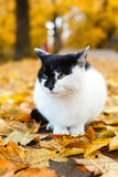 Cat sitting in autumn park with yellow leaves Royalty Free Stock Photo