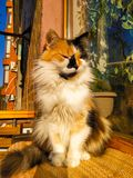 Cat sitting on the balcony on a Sunny morning. Fur, fluffy, tail, sunlight, red, white, black, mammal, pet, indoor, kitty stock images