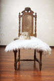 Cat sitting on a beautiful vintage chair Royalty Free Stock Photography