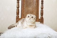 Cat sitting on a beautiful vintage chair Stock Photography