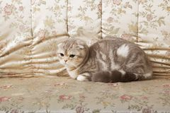 Cat sitting on a beautiful vintage couch Stock Photos