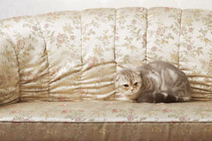 Cat sitting on a beautiful vintage couch royalty free stock photo