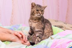 The cat is sitting in bed near the hands of his mistress_ stock images