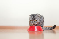 Cat sitting behind the bowl and drinking water Stock Image