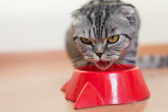 Cat sitting behind the bowl and drinking water Royalty Free Stock Photos