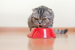 Cat sitting behind the bowl and drinking water Royalty Free Stock Photography
