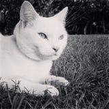 Cat Sitting bianca pura nell'erba Immagine Stock