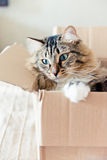 Cat sitting in a box Royalty Free Stock Photos