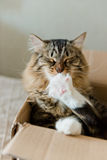 Cat sitting in box and licking his paw Stock Photography