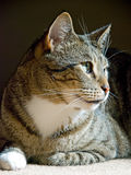 Cat sitting on the carpet Royalty Free Stock Images