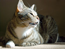 Cat sitting on the carpet Royalty Free Stock Image