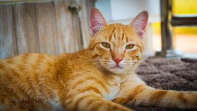 The cat sitting on carpet, Cat portrait, brown cat is looking an Stock Photos