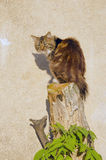 Cat sitting on cut tree on background of wall. Royalty Free Stock Image