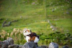 Cat sitting on the drystone wall, with green pastures in the background stock image