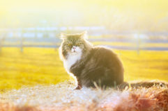 Cat sitting in early morning in straw Stock Photography