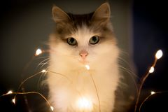 Cat sitting with festive electric garland on dark background Royalty Free Stock Photos