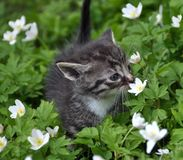 Kitten smelling flowers in a flower meadow Royalty Free Stock Photo