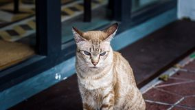Cat sitting in front of antique stores staring with fierce eyes. Abstract blur Royalty Free Stock Photo