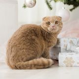 Cat with christmas tree and gift Stock Photos