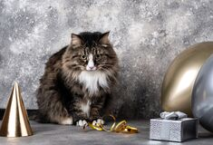 Cat sitting with golden silver balloons and party hat and gift box on gray background. Birthday celebration concept
