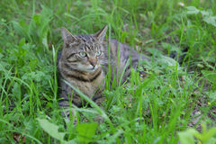Cat. Sitting on the grass Stock Images