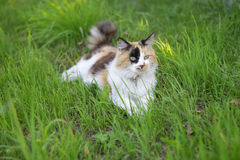 Cat. Sitting on the grass Royalty Free Stock Photography